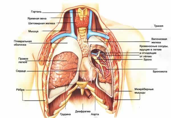 Какие органы у человека и где находятся